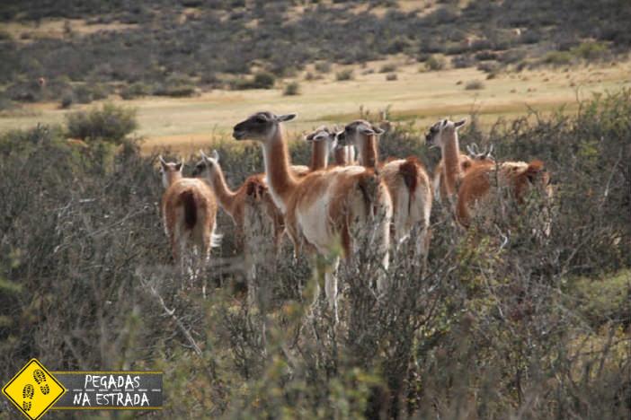 Guanacos, animais típicos da região. Foto: CFR/Blog Pegadas na Estrada.